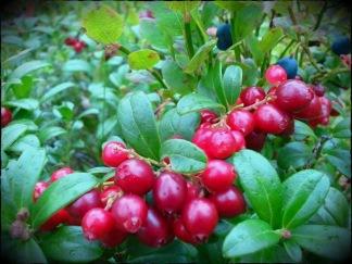 Lingoberry